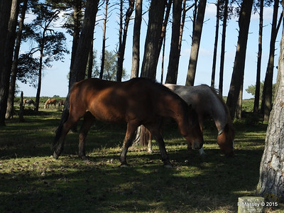 New Forest Ponies Crockford Clump 01-10-2015 14-39-30