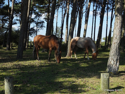 New Forest Ponies Crockford Clump 01-10-2015 14-39-25