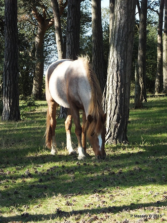 New Forest Ponies Crockford Clump 01-10-2015 14-38-55
