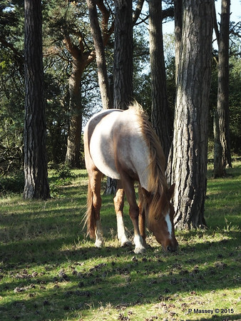 New Forest Ponies Crockford Clump 01-10-2015 14-38-056