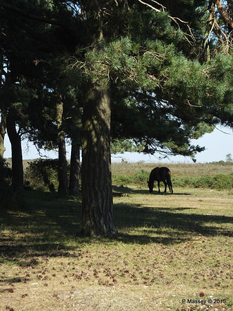 New Forest Ponies Crockford Clump 01-10-2015 14-38-30