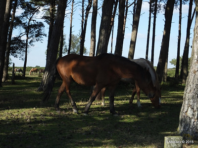 New Forest Ponies Crockford Clump 01-10-2015 14-39-31