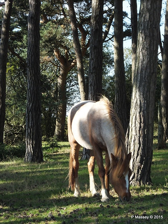 New Forest Ponies Crockford Clump 01-10-2015 14-38-52