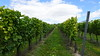 Cottonworth Vineyard 10yr Vines 14-08-2016 11-44-23