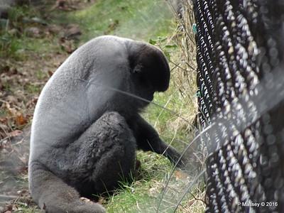 Woolly Monkey Monkey World 28-02-2016 10-11-51