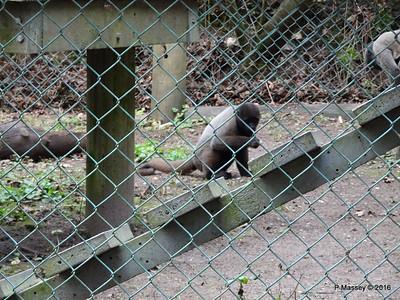 Woolley Monkey Monkey World 28-02-2016 10-28-44