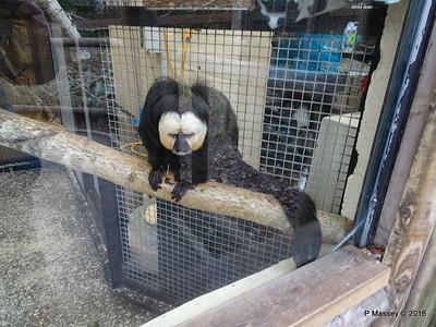Jehtro White-Faced Saki Monkey Monkey World 28-02-2016 10-39-05