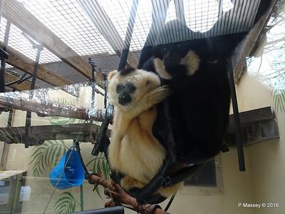 Golden-Cheeked Gibbons Monkey World 28-02-2016 10-32-01