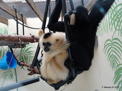 Golden-Cheeked Gibbons Monkey World 28-02-2016 10-32-31