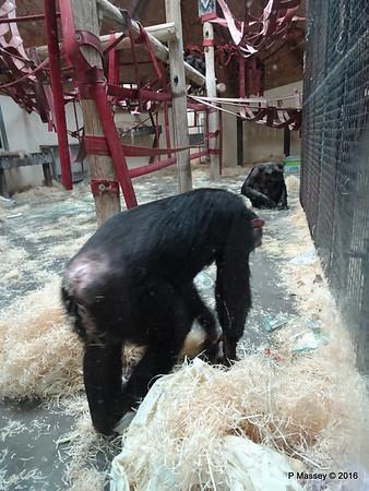 Chimpanzees Monkey World 28-02-2016 10-20-36