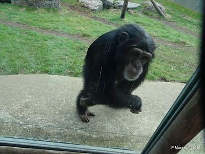 Chimpanzee Monkey World 28-02-2016 10-23-17