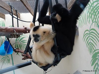 Golden-Cheeked Gibbons Monkey World 28-02-2016 10-32-33