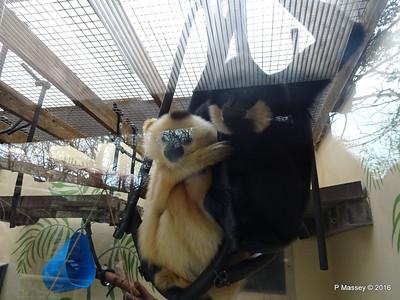 Golden-Cheeked Gibbons Monkey World 28-02-2016 10-31-047