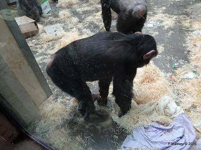 Chimpanzees Monkey World 28-02-2016 10-20-30