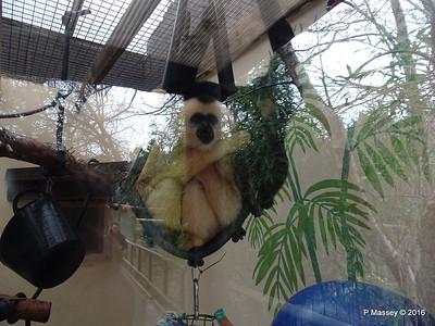 Golden-Cheeked Gibbons Monkey World 28-02-2016 10-30-045