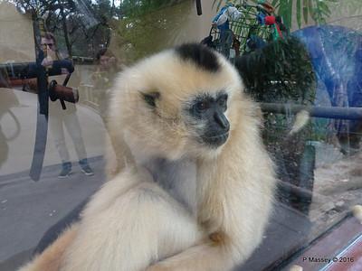 Golden-Cheeked Gibbons Monkey World 28-02-2016 10-27-26