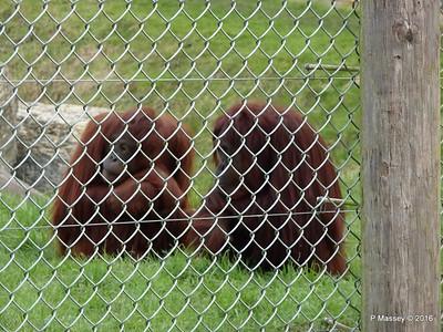 Orang-utans Monkey World 28-02-2016 10-41-31
