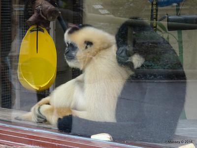 Golden-Cheeked Gibbons Monkey World 28-02-2016 10-26-38