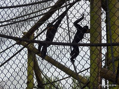 Golden-Cheeked Gibbons Monkey World 28-02-2016 10-08-43