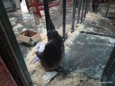 Chimpanzees Monkey World 28-02-2016 10-15-20