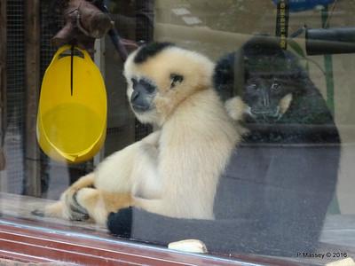 Golden-Cheeked Gibbons Monkey World 28-02-2016 10-26-36