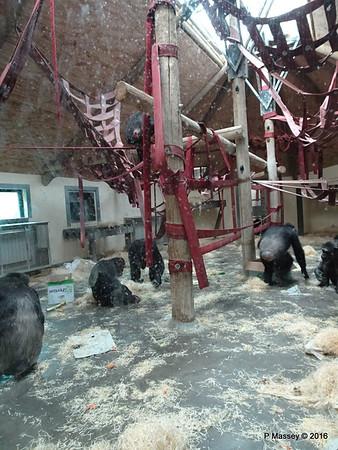 Chimpanzees Monkey World 28-02-2016 10-18-58