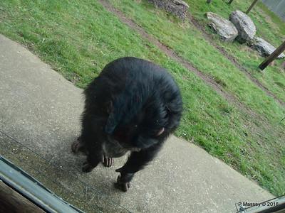 Chimpanzee Monkey World 28-02-2016 10-23-10