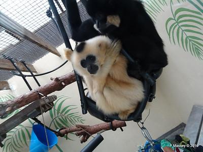 Golden-Cheeked Gibbons Monkey World 28-02-2016 10-32-20