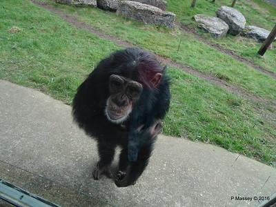 Chimpanzee Monkey World 28-02-2016 10-23-09