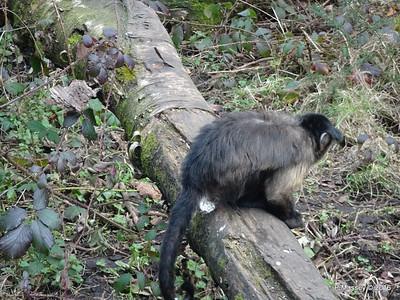 capuchin Monkeys Monkey World 28-02-2016 10-34-02