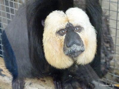 Jehtro White-Faced Saki Monkey Monkey World 28-02-2016 10-38-26
