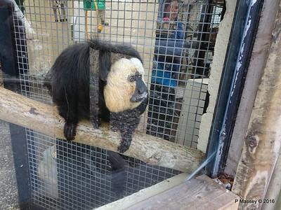 Jehtro White-Faced Saki Monkey Monkey World 28-02-2016 10-39-08