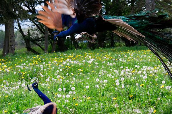 Fighting peacocks