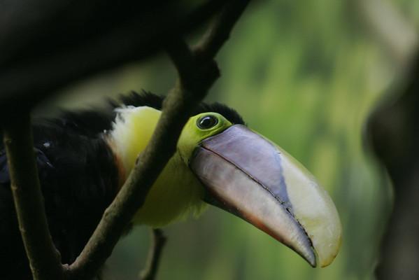 How does he lift his huge beak?