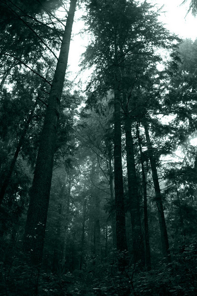 PineForestMistyDay