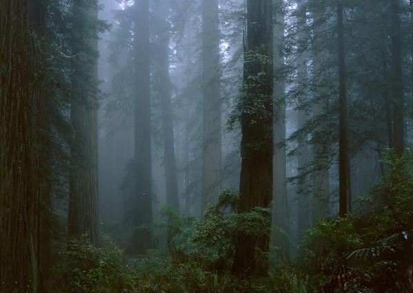 Redwood-fog-2