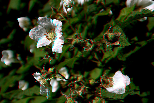 WhiteFlowers-3D-anaglyph