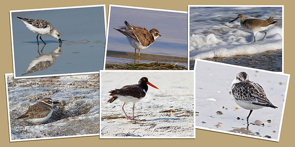 Shorebird Note Cards - Set B