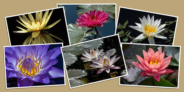 Waterlily Note Cards - Set D