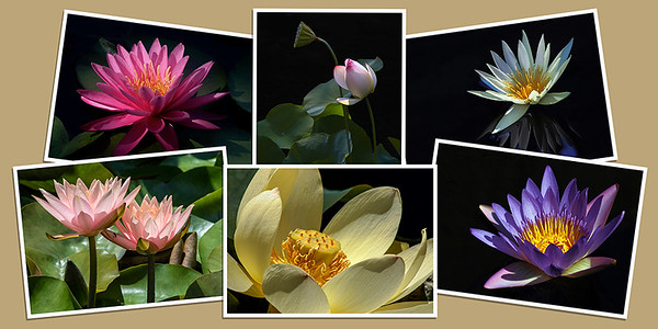 Waterlily Note Cards - Set B