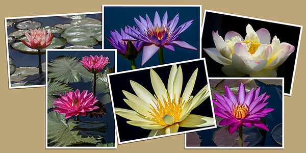 Waterlily Note Cards - Set C