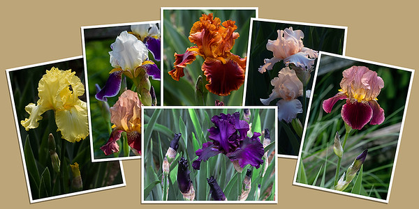 Iris Note Cards - Set A