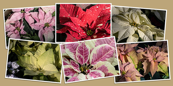 Holiday Poinsettias Note Cards - Set A
