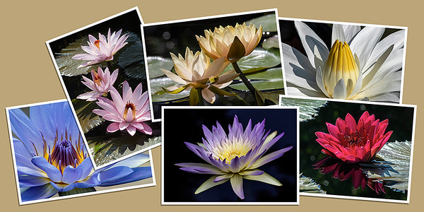 Waterlily Note Cards - Set A