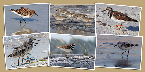 Shorebird Note Cards - Set A