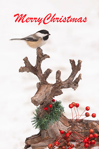 10850 - Black-capped Chickadee