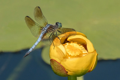 10819 - Blue Dasher Dragonfly on Yellow Waterlily