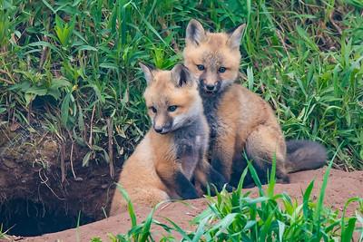 10865-Red Fox Kits