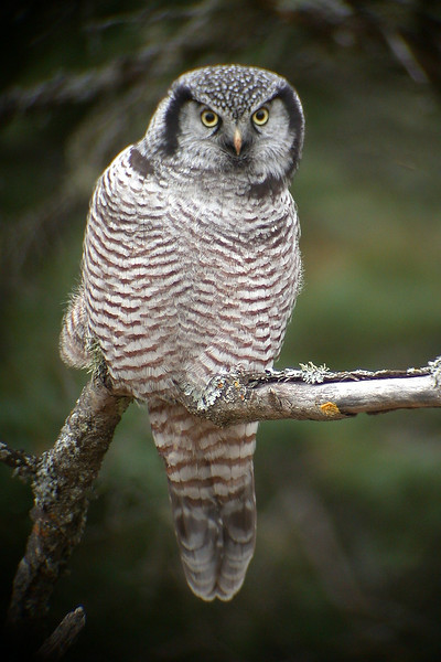 10050 - Northern Hawk Owl - Stoney Point Road - St. Louis County, MN