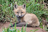 10793 - Baby Red Fox - Lake County, MN